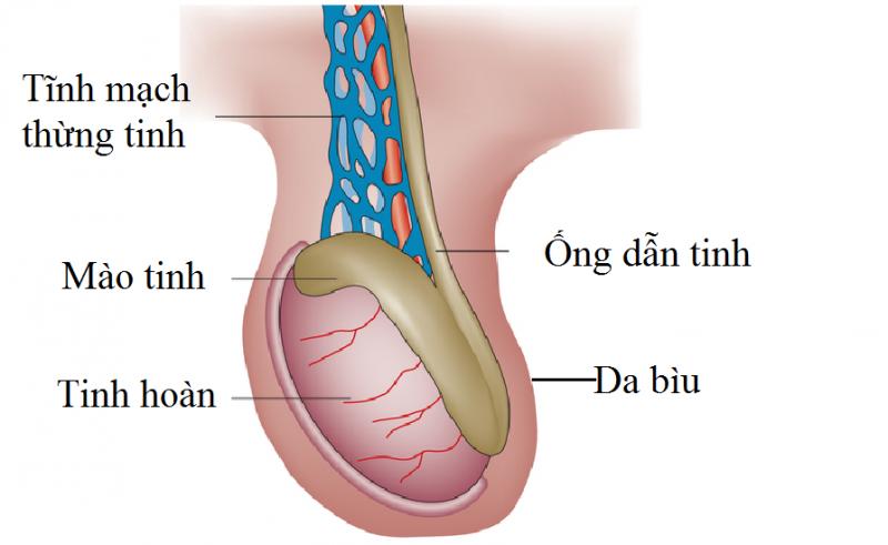 Triệu chứng giãn tĩnh mạch thừng tinh