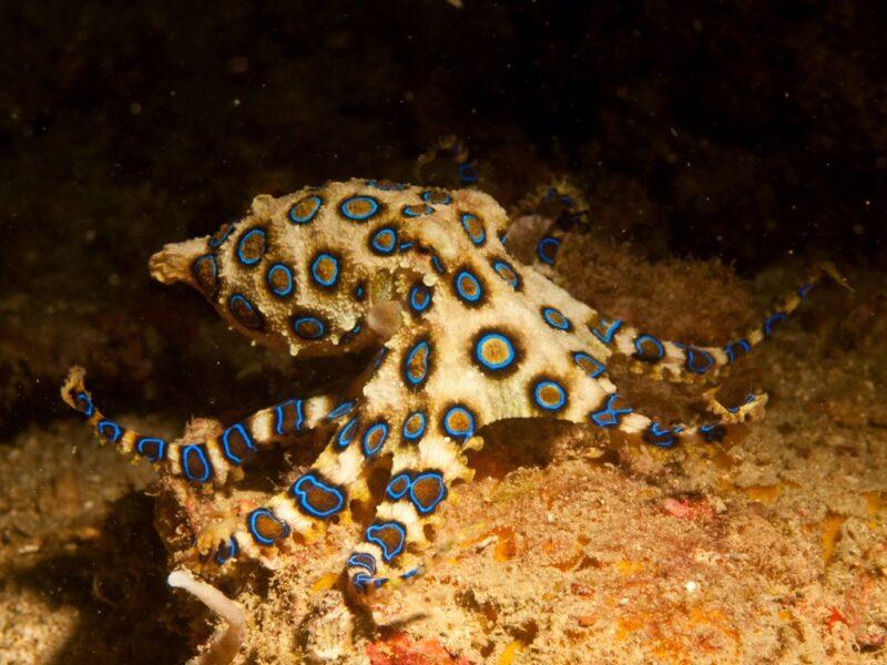 Hãy cẩn thận với bạch tuộc đốmxanh