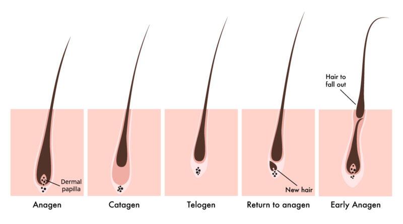 Các giai đoạn trong chu kỳ mọc tóc